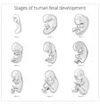stages human fetal development schematic vector image