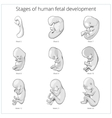 Stages of human fetal development schematic vector image vector image