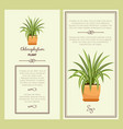 greeting card with chlorophytum plant vector image vector image