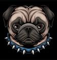 pug dog head a wearing collar vector image vector image