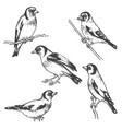 hand drawn goldfinch bird sketch vector image vector image