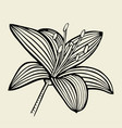 hand drawn lily flower vector image