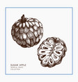 sugar-apple hand drawn vector image vector image