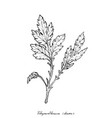 hand drawn of chrysanthemum leaves on white backgr vector image vector image