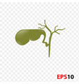 human internal gallbladder anatomy vector image vector image