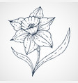 daffodil hand drawn vector image vector image