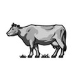 farm dairy cow in engraved style in vector image