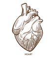 heart isolated sketch cardiovascular system vector image