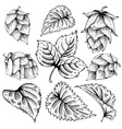 Hops graphic set vector image vector image