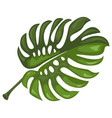 monstera tropical leaves botanical element for vector image