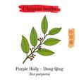 medicinal herbs of china purple holly ilex vector image vector image