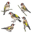 hand drawn colorful goldfinch bird sketch vector image