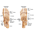 Human skeletal structure of the foot vector image vector image