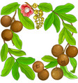 brazil nut branches frame on white background vector image