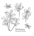 Ink wintergreen hand drawn sketch vector image vector image