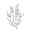 hand drawn botanical of lavender vector image vector image