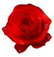 Realistic red rose EPS 10 vector image vector image