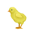 ute little yellow chick poultry breeding vector image vector image