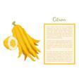 citron exotic juicy large fragrant citrus fruit vector image