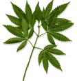 Marijuana Leaves Cannabis vector image