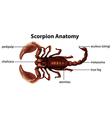 Scorpion Anatomy vector image vector image