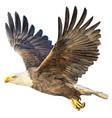 bald eagle flying on white vector image