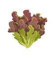 oak leaf lettuce salad leaves healthy organic vector image vector image