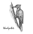sketch woodpecker bird on tree pecker animal vector image