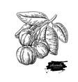 acerola fruit drawing barbados cherry vector image vector image