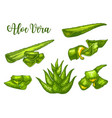 aloe vera sketch plant leaves and juice drops vector image vector image