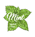 herbal tea with fresh mint logo template isolated vector image vector image