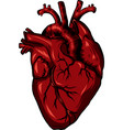 real biology human heart red vector image vector image