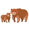 brown grizzly bear on white background vector image