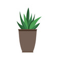 haworthia plant in black pot vector image