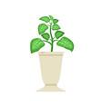 dieffenbachia in white vase vector image vector image