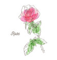 beautiful pink rose on white background vector image vector image