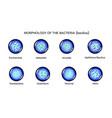 morphology of rod-shaped bacteria vector image vector image