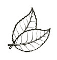 two leaves tea or mint vector image vector image