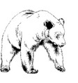 bear drawn with ink from the hands vector image