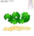 Gotu Kola Leaves with Vitamin A B1 B2 and B6 vector image