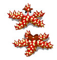 cartoon starfish red with prickly thorns isolated vector image vector image