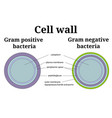 bacteria cell wall gram positive and gram negative vector image