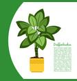 dieffenbachia plant in pot banner vector image vector image
