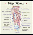 Human thigh muscles vector image vector image