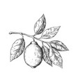 hand drawn lemon sketch style fruit branch whole vector image vector image