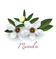 manuka flowers and leaves in realistic style vector image vector image