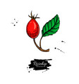 rosehip drawing isolated berry branch vector image vector image