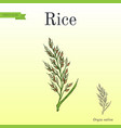 hand drawn rice ears sketch vector image vector image