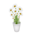 A Lovely Fresh Chamomile in Flower Pot vector image vector image