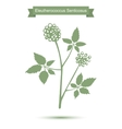Eleutherococcus senticosus isolated plant on white vector image vector image